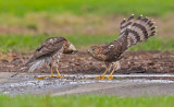 cooper hawks bathing