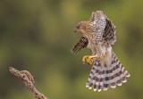 coopers hawk and mouse