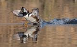 Hooded merganser takeoff