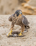 peregrine fledge with prey