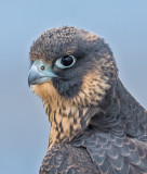 peregrine fledge portrait