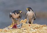 peregrine pair and brunch