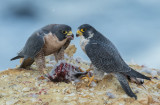 Peregrines BFF