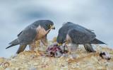 falcon feast