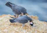 peregrine and bufflehead head