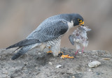 peregrine and dove