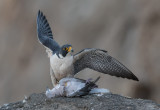 peregrine with fresh kill
