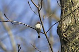 chipping sparrow 01.jpg