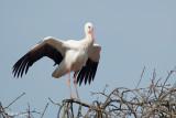 White Stork / Ooievaar