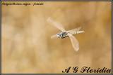 Selysiothemis nigra - female
