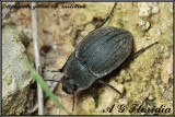 Alphasida grossa ssp. melitana