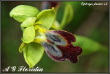 Ophrys fusca s.l.