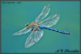 Anax imperator - male