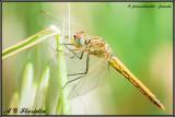 S. fonscolombii - female