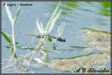Selysiothemis nigra -  tandem