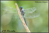 Orthetrum trinacria - male
