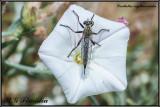 Flies (Diptera) of Malta