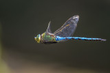 Dragonflies and Damselflies (Odonata) of Malta