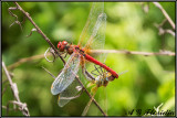 Sympetrum fonscolombii - cupola