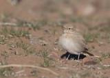 Rosse Woestijnleeuwerik - Bar-tailed Lark - Ammomanes cinturus