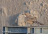 Bruingele Babbelaar - Fulvous Babbler - Turdoides fulvus