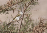 Bergfluiter - Western Bonelli's Warbler - Phylloscopus bonelli