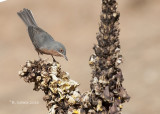 Baardgrasmus - Subalpine Warbler - Sylvia cantillans