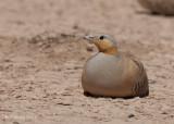 Sahelzandhoen - Spotted Sandgrouse - Pterocles senegallus