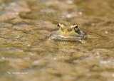 Kikker - Frog