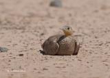 Kroonzandhoen - Crowned Sandgrouse - Pterocles coronatus