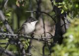 Westelijke Orpheusgrasmus - Western Orphean Warbler - Sylvia hortensis