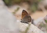 Marokkaanse Vuurvlinder - Moroccan Copper - Lycaena phoebus