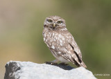 Woestijnsteenuil - Northern Little Owl - Athene noctua lilith