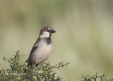Huismus - House Sparrow - Passer domesticus