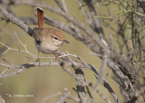 Rosse Waaierstaart - Rufous-tailed Scrub Robin - Cercotrichas galactotes