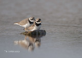 Bontbekplevier - Common Ringed Plover- Charadrius hiaticula