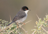 Kleine Zwartkop - Sardinian Warbler - Sylvia melanocephala