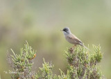 Brilgrasmus - Spectacled Warbler - Sylvia conspicillata