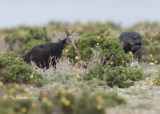 Heremietibis - Northern Bald Ibis - Geronticus eremita