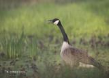 Canadese Gans - Canada Goose - Branta canadensis