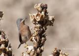 Baardgrasmus - Subalpine Warbler