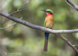 Roodkeelbijeneter - Red-throated Bee-eater - Merops bulocki