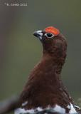 Moerassneeuwhoen - Willow Ptarmigan - Lagopus lagopus
