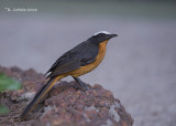 Schubkaplawaaimaker - White-crowned Robin Chat - Cossypha albicapilla