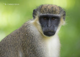 Groene Meerkat - Green Vervet Monkey - Ceropithecus aethiops