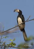Bonte Tok - African Pied Hornbill - Tockus fasciatus
