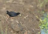 Zwarte Porseleinhoen - Black Crake - Amaurornis flavirostra