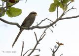 Geelsnavelklauwier - Yellow-billed Shrike - Corvinella corvina