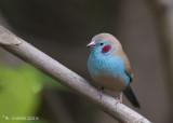 Blauwfazantje - Red-cheeked Cordon-bleu - Uraeginthus bengalus