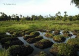 Abuko Ricefields